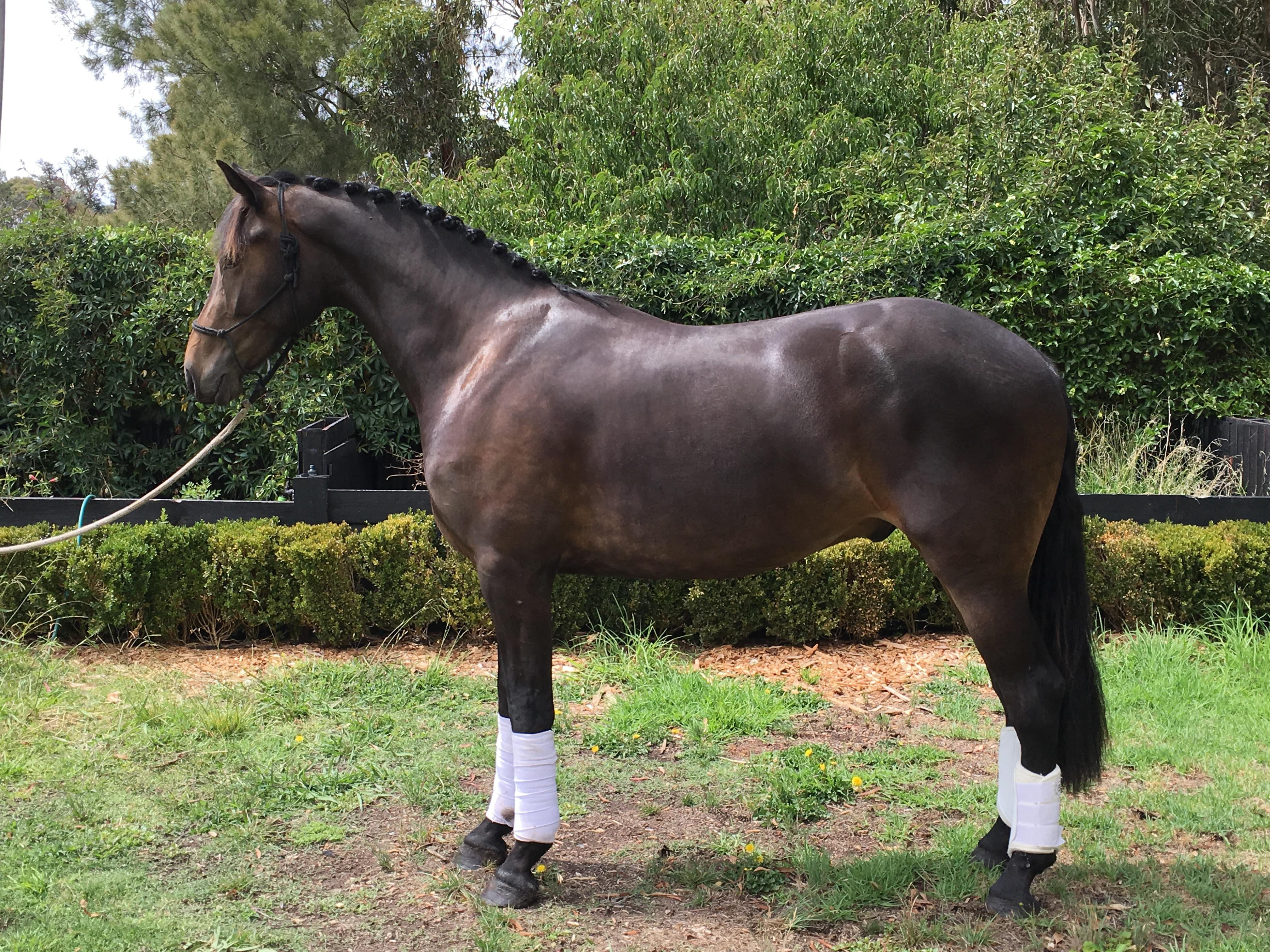 Max Warmblood/Friesian gelding