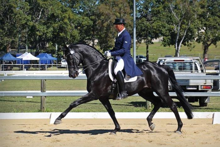 Awha Auction Lauries As Imp Warmblood Horsezone
