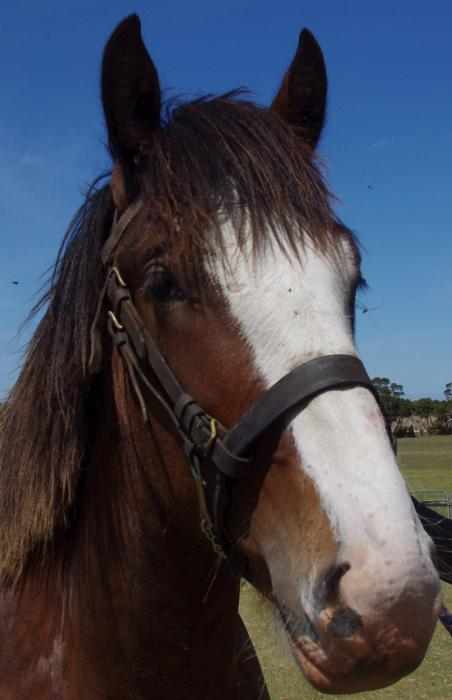 Shire gelding- pure bred
