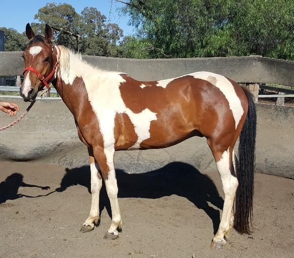 TRIGGER – 4 year old paint gelding $1000 ono
