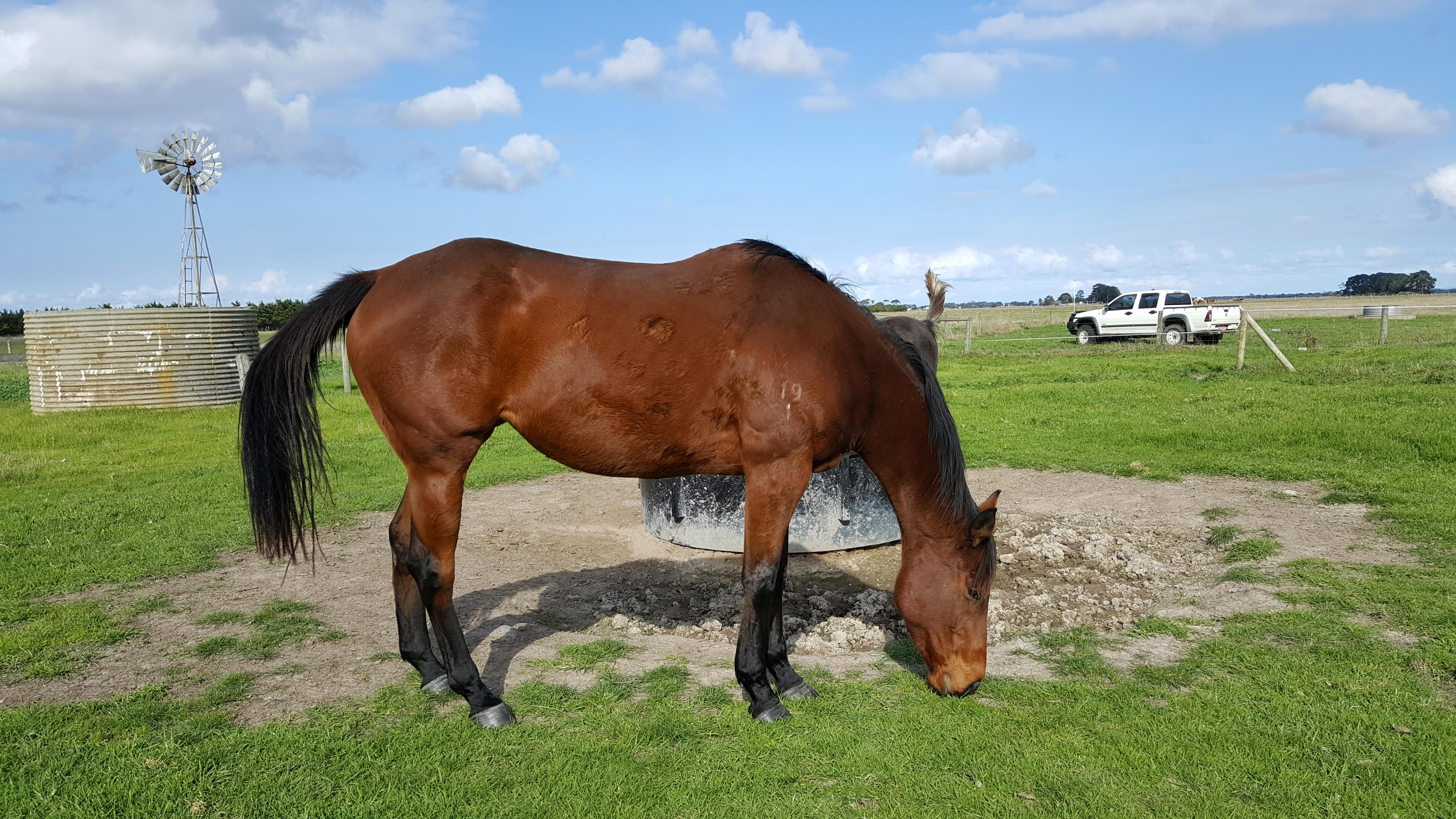 Bay thoroughbred mare please leave number