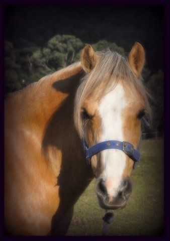 Palomino A Welsh Mare