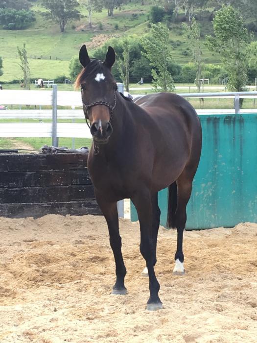 Beautiful WB/Arab mare
