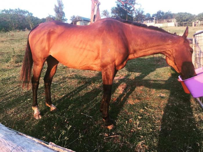 Thoroughbred Allrounder Mare