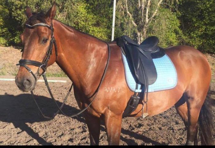 All Rounder: Australian Stock Horse Gelding