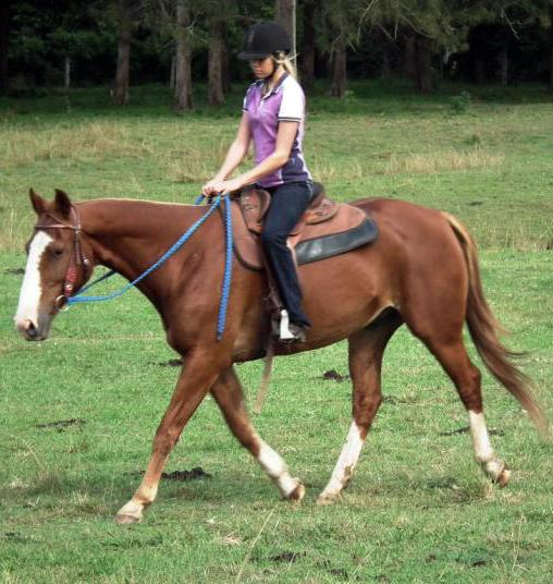 Australian Stock Horse With Romeo Bloodlines