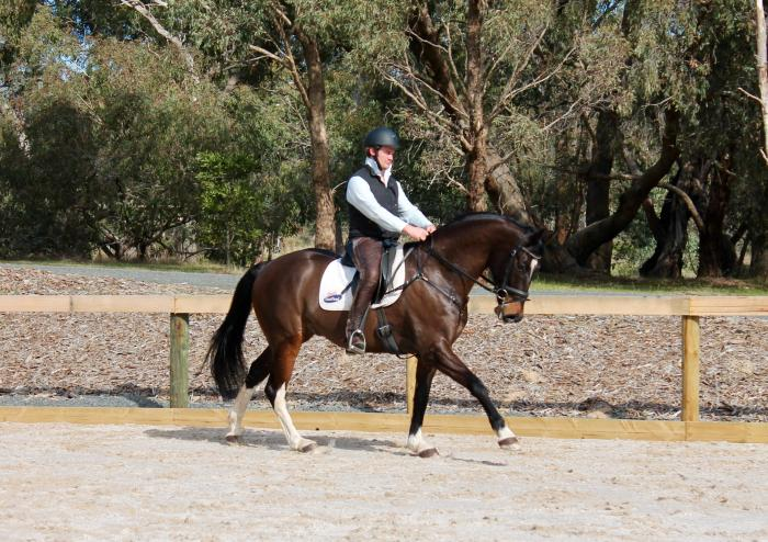 5yo Warmblood Gelding for sale.