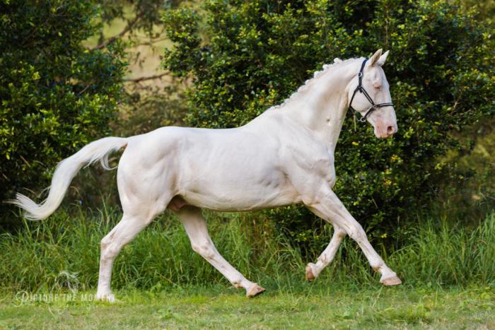 DAIQUIRI GF Imp full warmblood cremello stallion