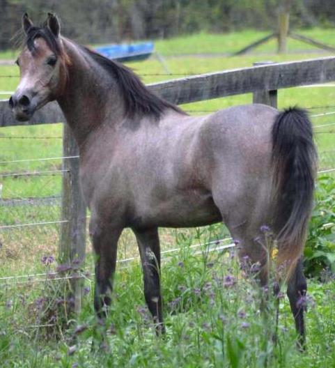 Purebred Grey Arabian Colt