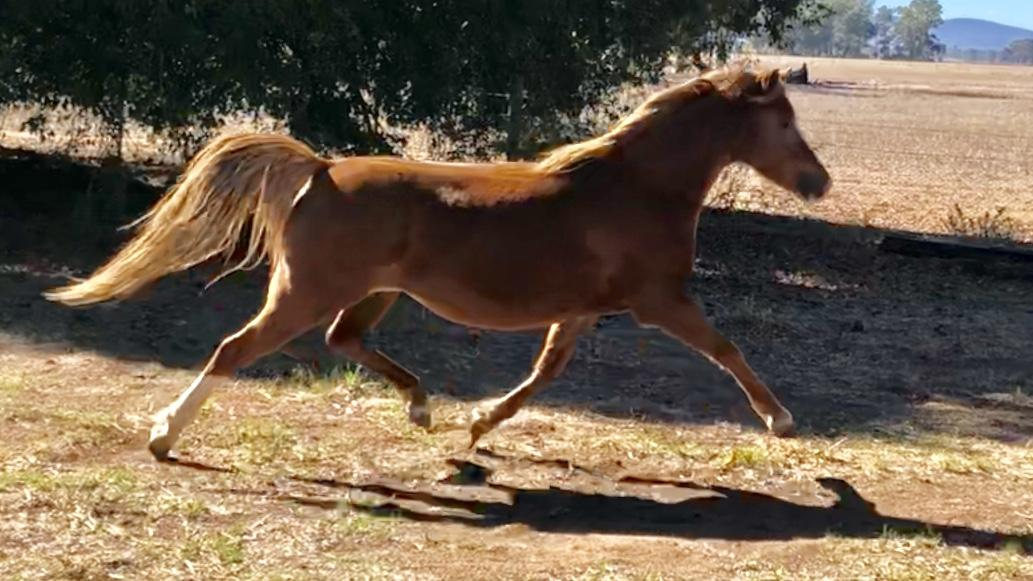 Welsh B broodmare
