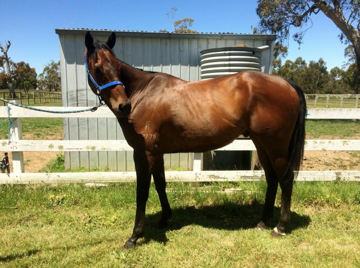 Perfect Allrounder- 16hh, G