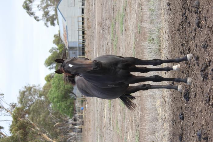 BARGIN MUST SELL PURREALIST FILLY
