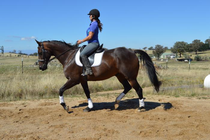 Lovely Schoolmaster dressage and all rounder!