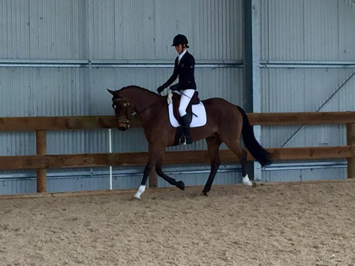 Novice/elementary dressage mount