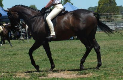 Elegant Interschool/Show Horse
