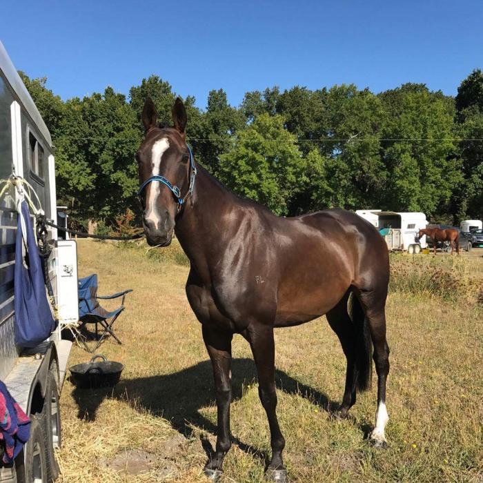 Pretty adult riders/pony club mount!