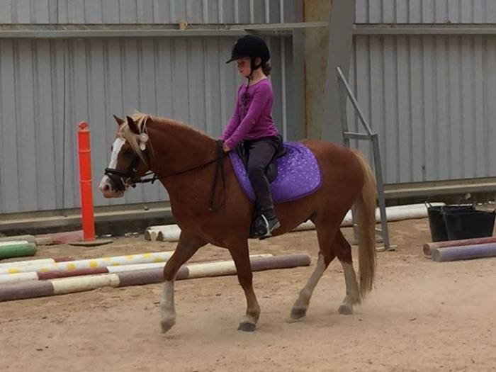 All rounder Pony club Welsh Gelding 11.2h
