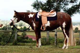 HF Somethin Hot Paint Broodmare - Western Pleasure
