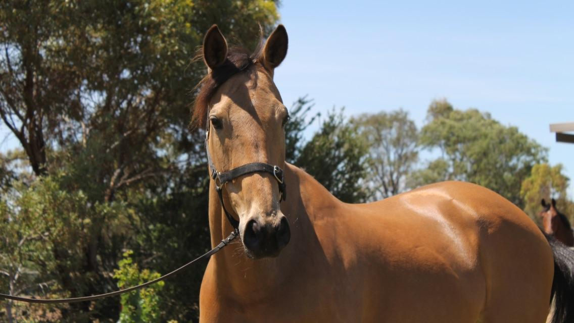 6yr old buckskin mare