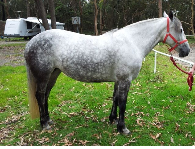 Paint Pony For Sale Nsw