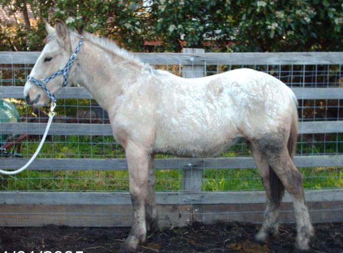 3/4 Lovely big boned clydesdale colt