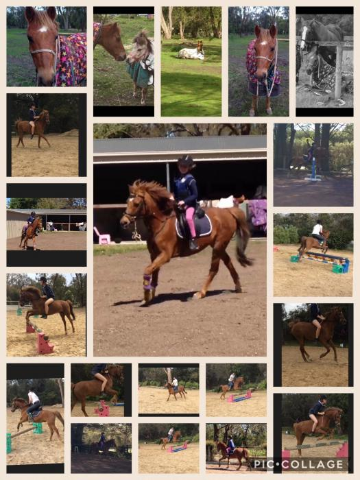 Safe pony club all rounder