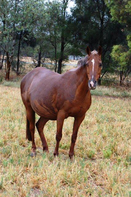 Quality Galloway Broodmare