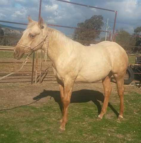 Palomino colt by RS Chisum out of Reylee Play