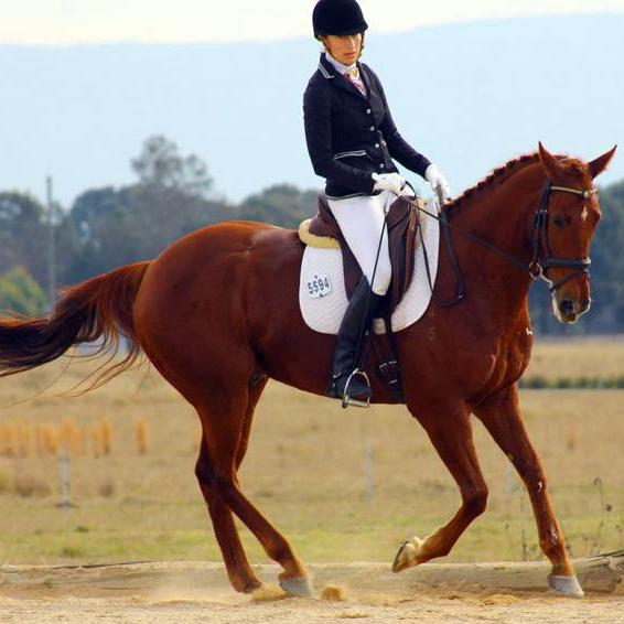 Beautiful chestnut TB Geld ,eventer or dressage