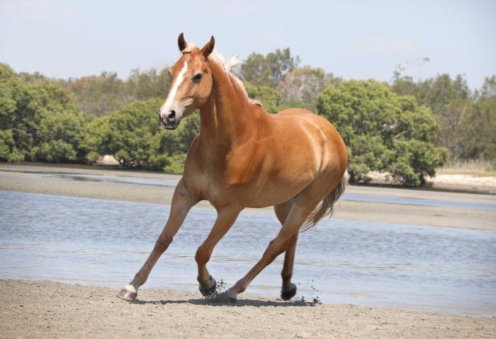 Beautiful Taffy Quarter Horse Gelding