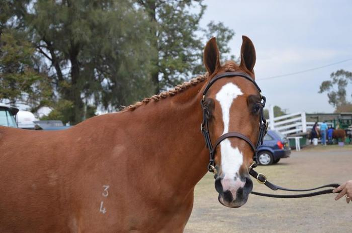 Gorgeous Registered ASH Gelding