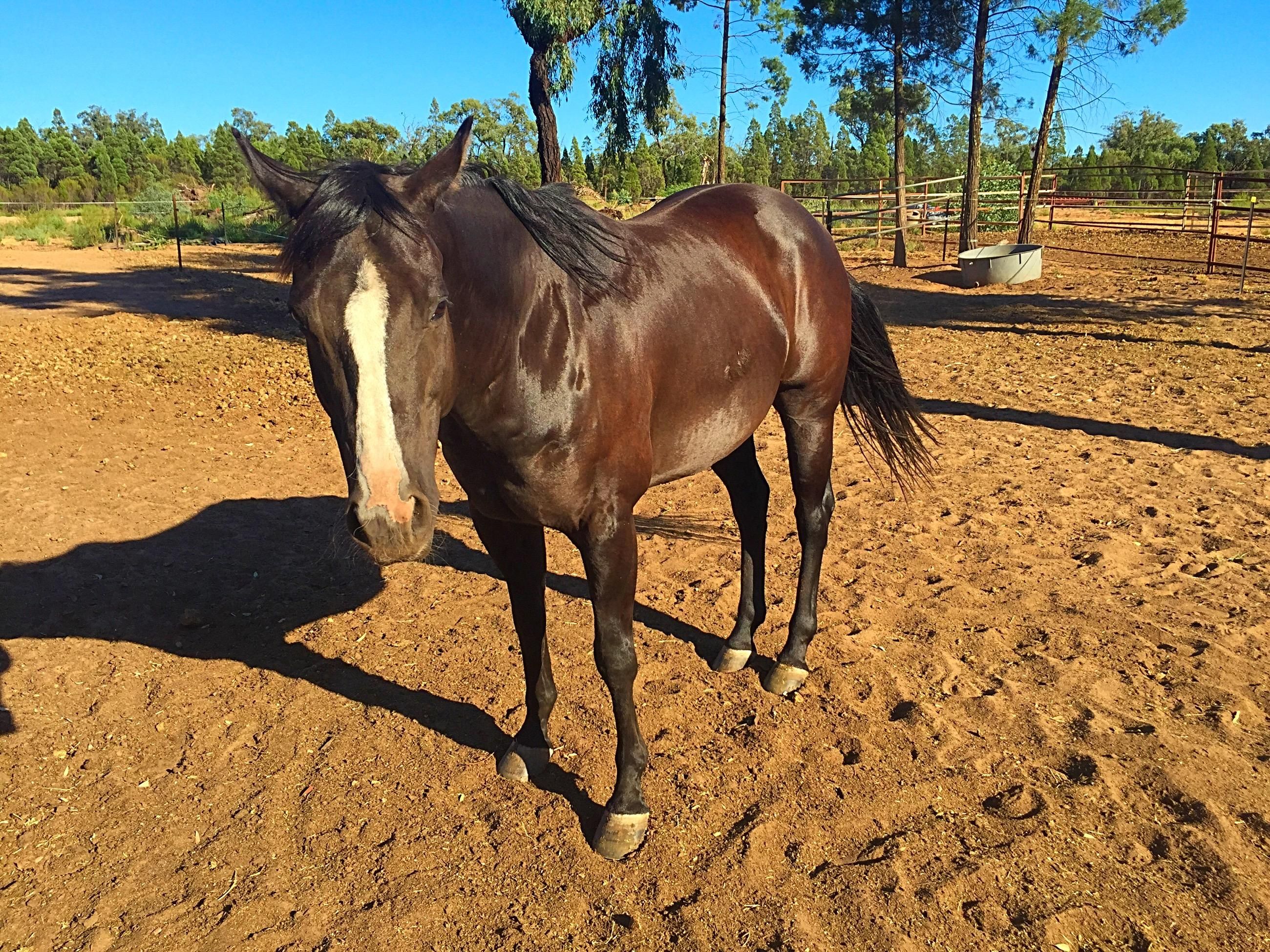 QUARTER HORSE X PAINT GELDING