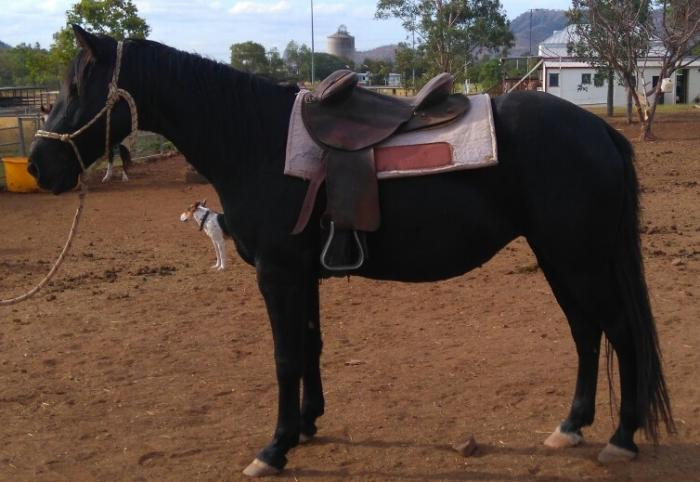 Stunning Black Mare with Blue Moon Mystic lines