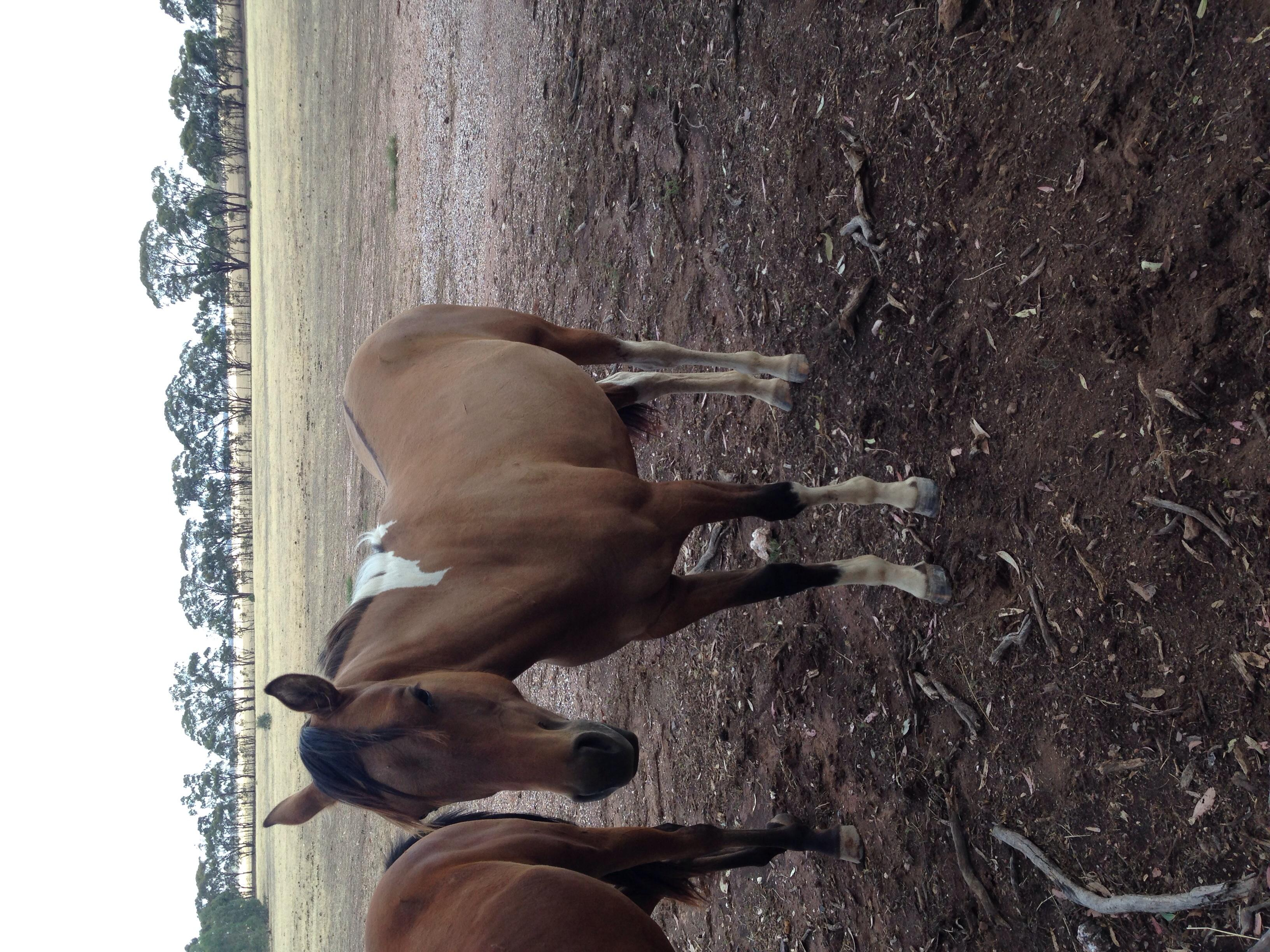 Paint breed yearlings