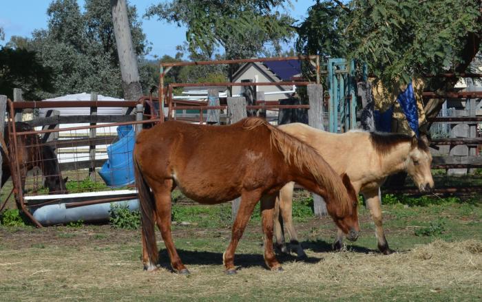 Riding Pony x QH