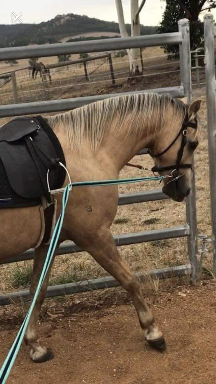 Gorgeous Welsh Project Pony