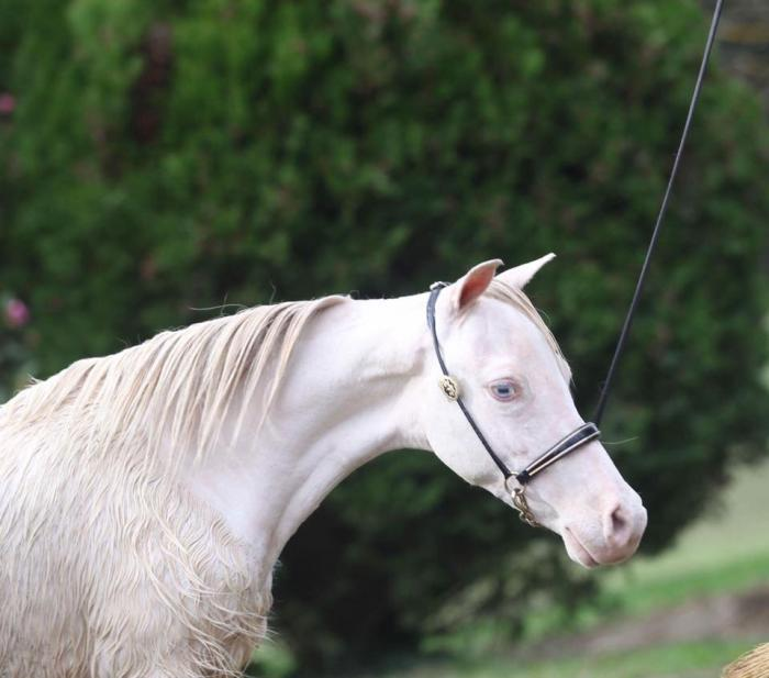 Small Horse Colt (can be gelded)