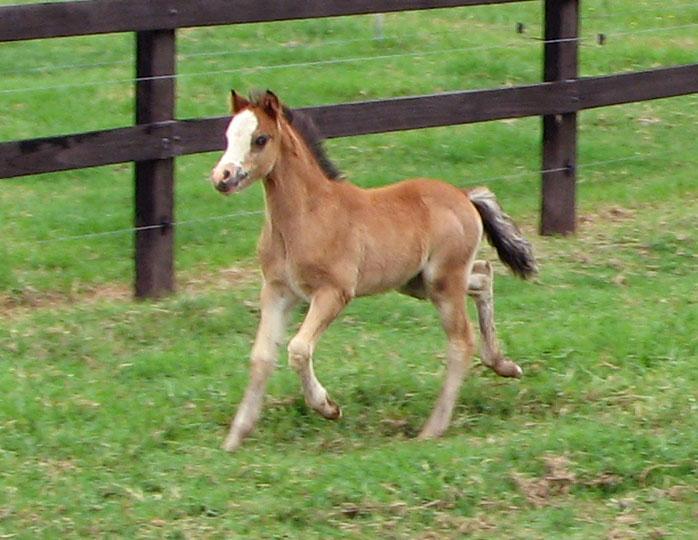 Pretty Bay Welsh Mountain Pony Foal SOLD