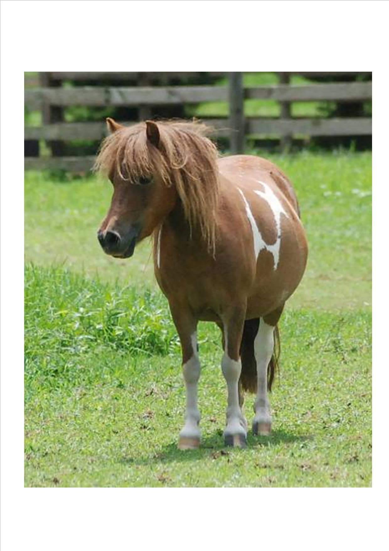 Superb Miniature Horse Broodmae -in foal