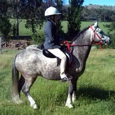 Elargee Raife. Welsh Pony, safe, reliable, easy