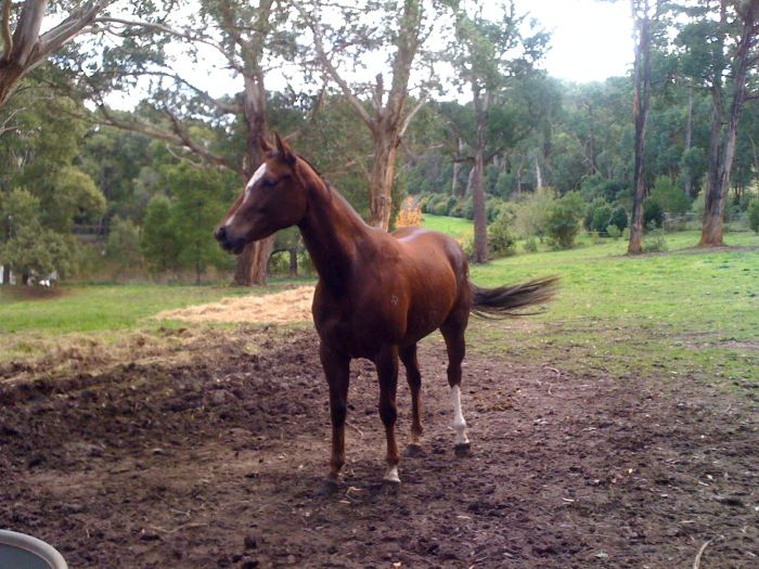 show horse or broodmare