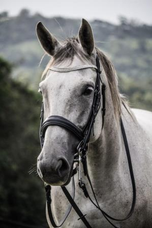 Medium Dressage 7yr old Hanoverian Mare