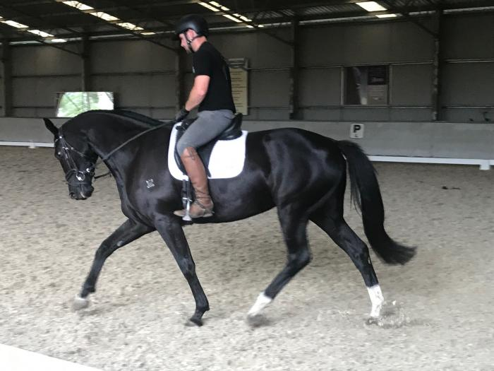 beautiful Black warmblood 4 yr Mare
