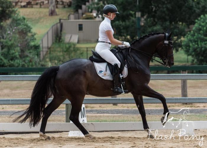 Talented imported PSG Gelding