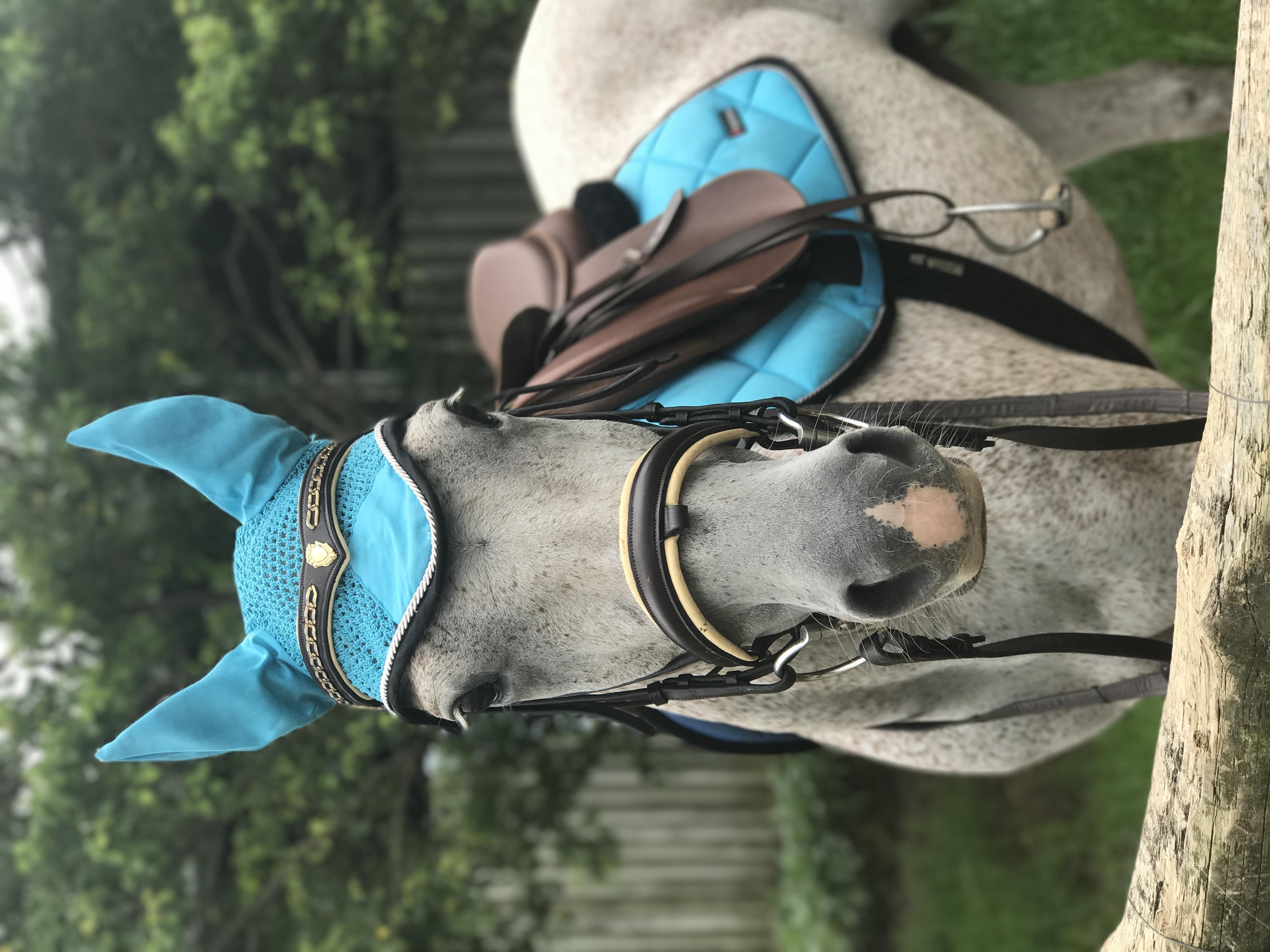 Napoleon  beautiful grey gelding