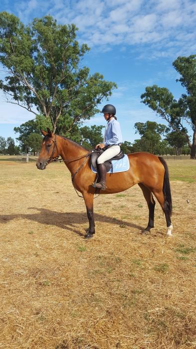 Stockhorse x Warmblood Allrounder