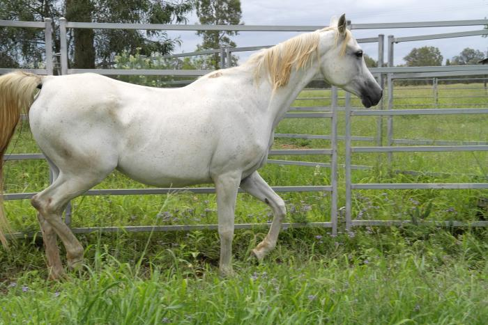 Tall well-conformed endurance brood mare