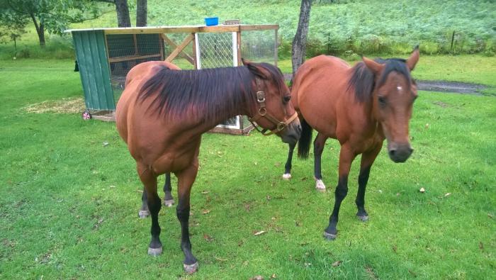 2 Qtr Horses, Beginners