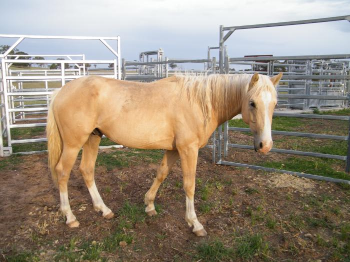 ASH PALOMINO COLT HERITAGE B/LINES POLOCROSSE