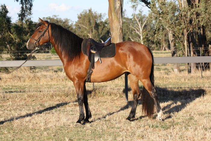 Beautiful Young Mare ready to start her career